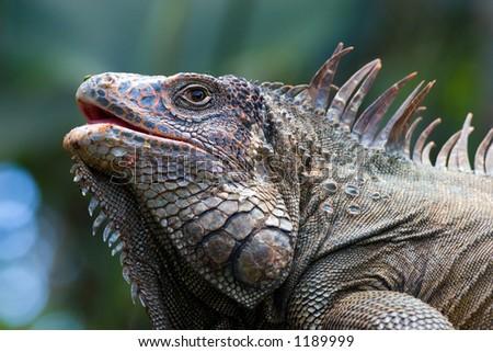 Iguana - stock photo
