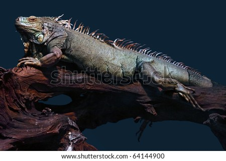 Iguana: A large iguana resting on an old tree branch. It is looking towards camera. - stock photo