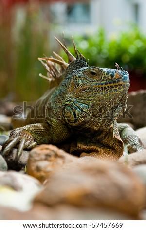 Iguana Close up portrait on Mexican beach - stock photo