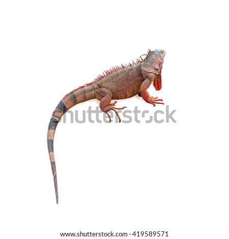 Iguana colorful,isolated on white background, with clipping path - stock photo