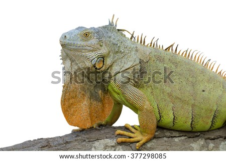 Iguana (Iguanidae),prehistoric reptiles,isolated on white background, with clipping path - stock photo