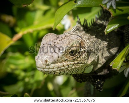 Iguana in Aruba a small caribbean Island in the Netherland Antilles - stock photo