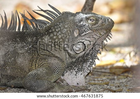 Iguana in the park