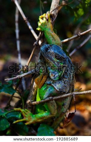 Iguana in tree - stock photo