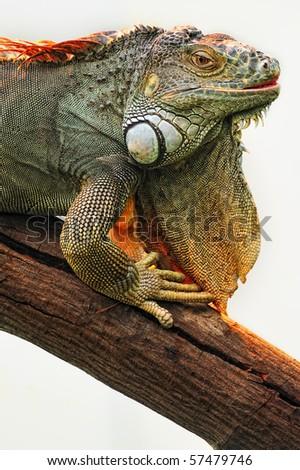 Iguana is a genus of lizard. - stock photo