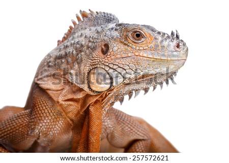 Iguana isolated on white - stock photo