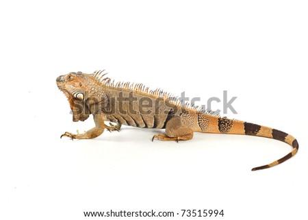 Iguana isolated on white background - stock photo