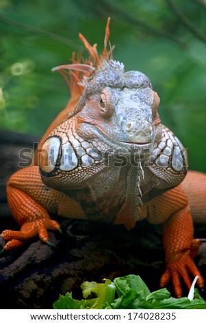 iguana lizard - stock photo
