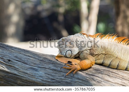 Iguana on a tree - stock photo