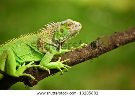 Iguana on a tree branch - stock photo