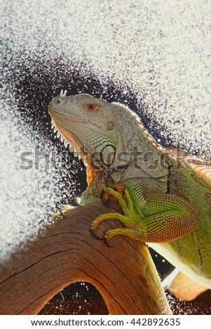 Iguana on dark background. Black and white image. - stock photo