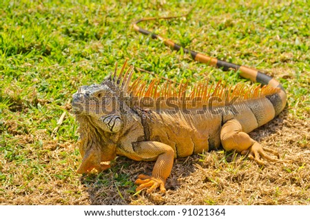 iguana on green grass lawn - stock photo