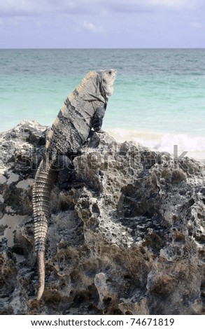Iguana on iron shore formation at beach at Tulum, Mexico
