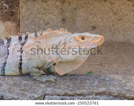 Iguana on stones, closeup