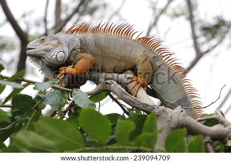 Iguana on tree - stock photo