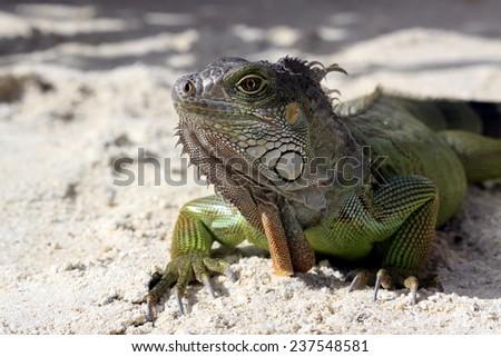 Iguana on tropical beach Key Largo, Florida - stock photo