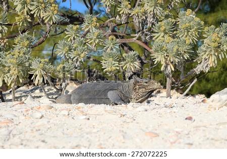 Iguana on white sand beach in Cayo Largo, Cuba - stock photo