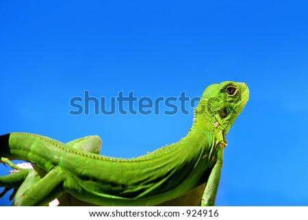 Iguana over blue sky - stock photo