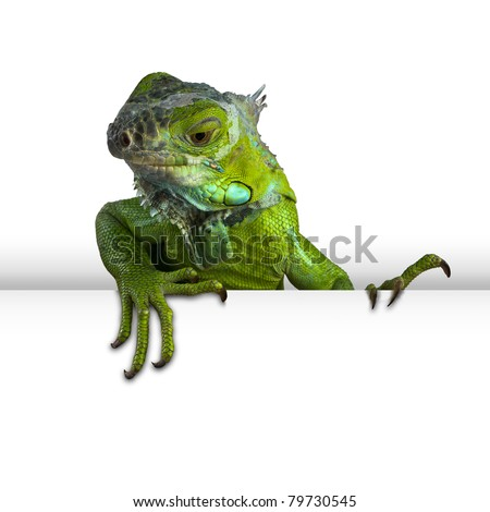 iguana peeking - stock photo