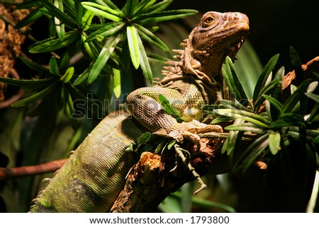 Iguana perched high in a tree - stock photo