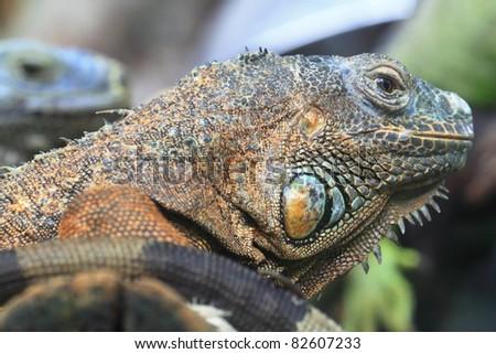 Iguana Portrait - stock photo
