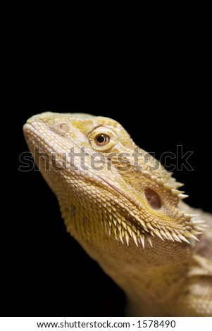 Iguana, portrait of a reptile - stock photo