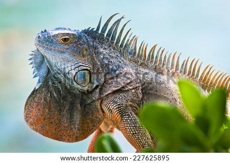 Iguana's head with colorful scales
