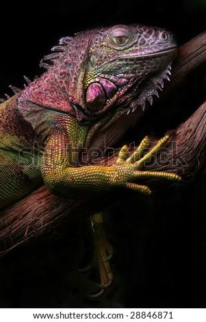 Iguana sitting on the branch - stock photo