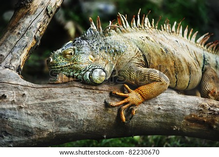 iguana standing on the branch waiting for prey - stock photo