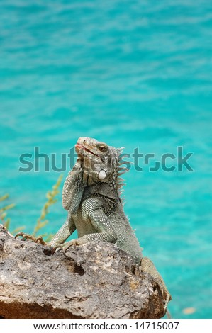 Iguana sticking tongue out - stock photo