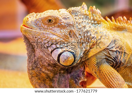 Iguana The green iguana is a large, arboreal, mostly herbivorous species of lizard of the genus Iguana native to Central, South America, and the Caribbean.  - stock photo