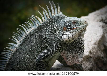 Iguanas at lagun on Curacao a Caribbean Island in the Dutch Antilles - stock photo