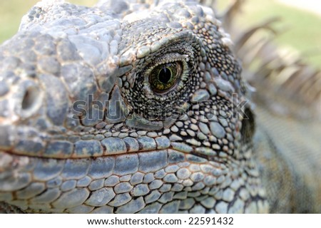 Iguanas have excellent vision and are able to see shapes, shadows, color and movement at long distances. They also use visual signals to communicate with members of the same species. - stock photo