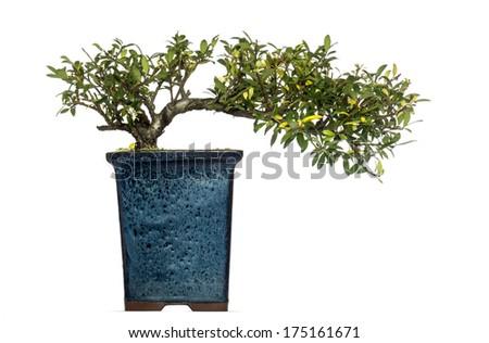 Ilex bonsai tree, isolated on white - stock photo