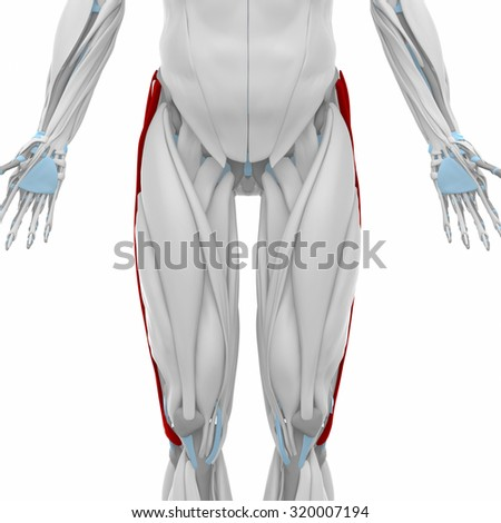 Iliotibial Tract Muscles Anatomy Map Stock Illustration 320007194 ...