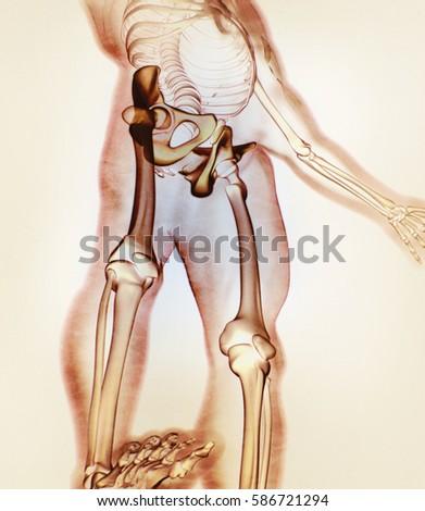 Ilium Bone Hip Bone Pelvis Human Stock Illustration 586721294