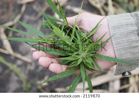 illegal marijuana plant and dealer hands - stock photo