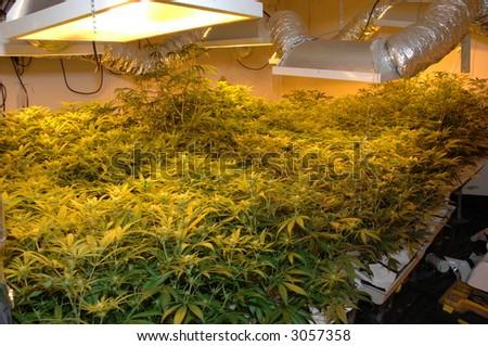 Illegal marijuana, skunk cannabis factory showing growing lights still working - stock photo