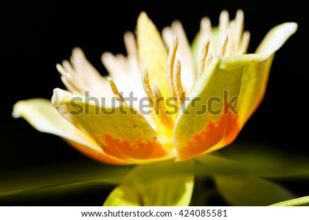 Illuminated flower of tulip tree on natural dark background; shallow depth of field