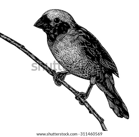 Illustrated sketch of a songbird in scratchboard style - stock photo