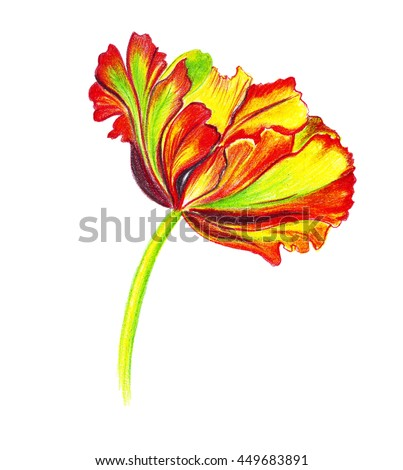 Illustration drawn stylized tulip flower made with colored pencils