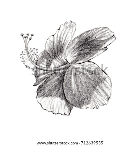 Hand draw hibiscus flower blossom stock vector 229725490 illustration hibiscusisolated chinese rose pencil drawing ccuart Image collections