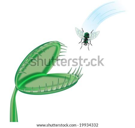 Illustration of a fly heading towards a Venus flytrap ...