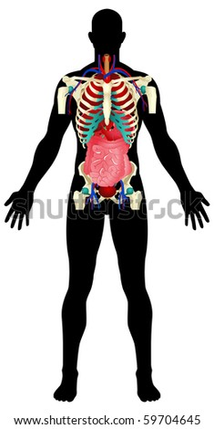 Illustration of a male figure with the internal organs - stock photo