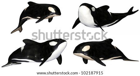 Illustration of a pack of four (4) killer whales with different poses isolated on a white background - stock photo