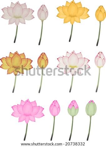Illustration of a series of lotus flowers