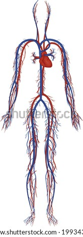 Illustration of an isolated human circulatory system - stock photo