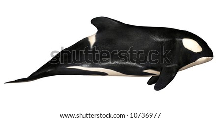 Illustration of an Killer Whale isolated on a white background - stock photo