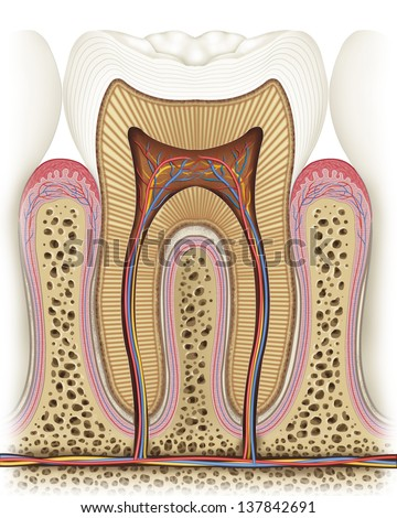 Illustration of anatomy and structure of the tooth,  - stock photo