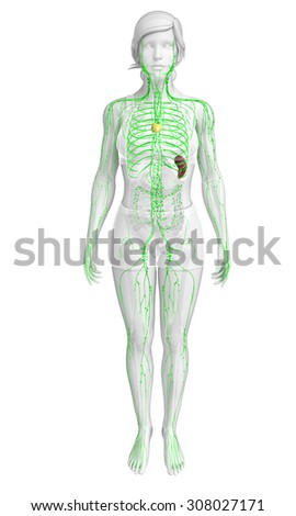 Lymphatic System Stock Images Royalty Free Images